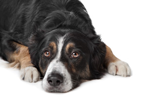 Old man's gland – Do dogs have the same problems as humans?