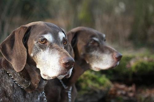 Lameness in old dogs